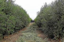 Poda de los olivos