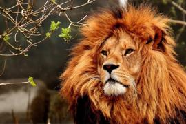 Cuatro leones del Zoo de Barcelona dan positivo en COVID-19