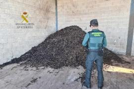 Detenido por robo y venta de 10 toneladas de algarrobas en Montuïri por 8.000€