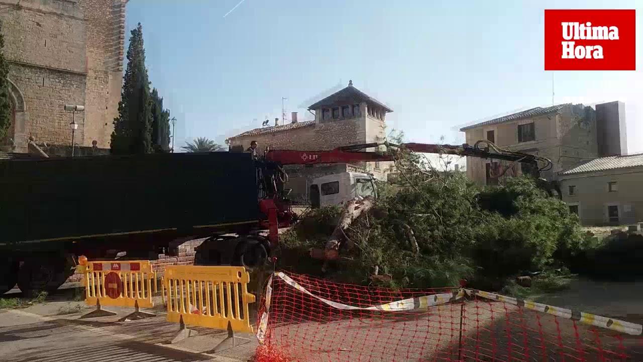 El Ajuntament tala por «seguridad» todos los pinos de la Plaça de Selva