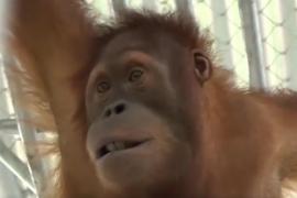 Regresan a casa dos orangutanes secuestradas durante más de tres años