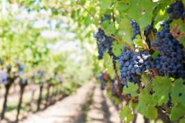 El sector vitivinícola mallorquín no confía en aumentar la exportación a EEUU pese a la salida de Trump
