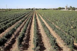 Agricultura limita la expansión de nuevos viñedos para evitar la saturación del mercado