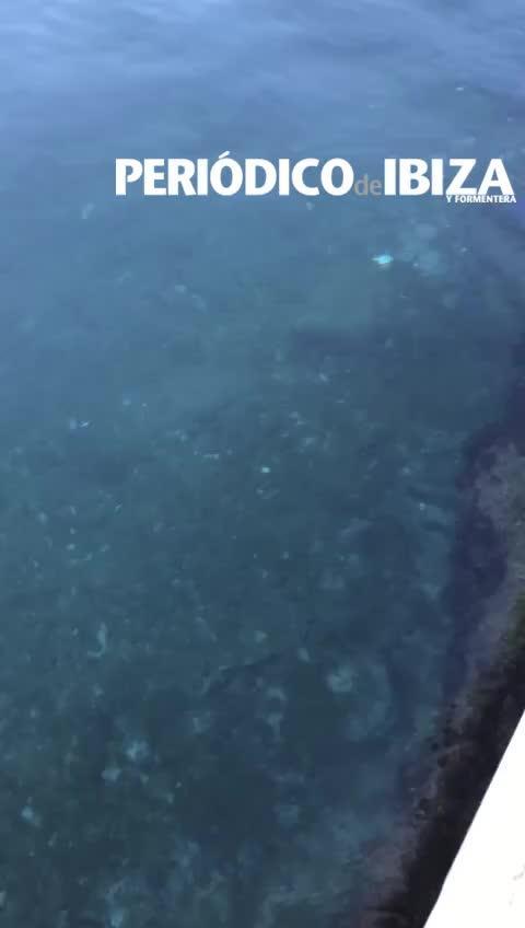 El puerto de la Savina de Formentera recibe la visita de un tiburón