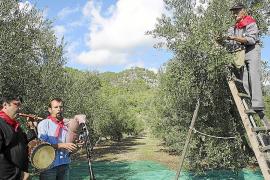 La campaña de recogida de la oliva prevé un descenso de producción pero mejor calidad