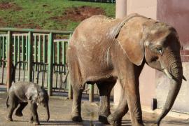 La historia de superación de Cristina: la elefanta abandonada al nacer