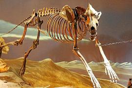 Un mallorquín estudia los lobos de 'Juego de Tronos'