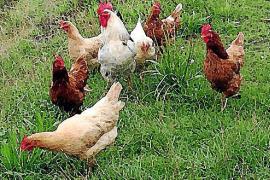 Podemos defiende en el Parlament el consumo de huevos de gallinas libres