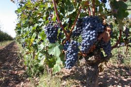 La producción de vino en Baleares baja un 25 % en 2020
