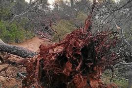 Árboles arrancados de raíz por el viento permanecen aún en el bosque de Bellver