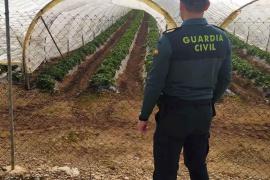 Investigan a dos personas por el robo de 200 kilos de fresas en Sa Pobla