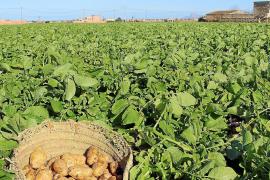 Baleares pide al Reino Unido que el Brexit no afecte a la exportación de la patata
