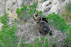 Piden a los excursionistas no acercarse a los nidos de buitres negro en la Serra de Tramuntana