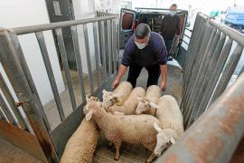El 'escorxador' salva la ganadería ibicenca