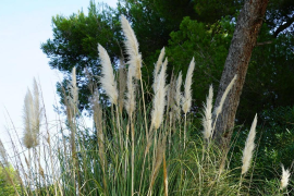 La flora invasora se lleva la palma en Baleares