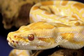 Condenado por estafar a un mallorquín con la venta falsa de tres serpientes