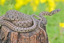 Cómo fabricar tu propia trampa para atrapar a las serpientes invasoras