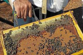 Seleccionar la abeja negra