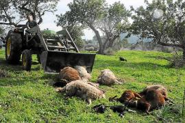 Nueva matanza de ovejas por parte de dos perros en una finca de Calvià
