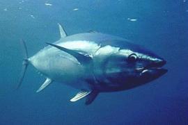 Las larvas de atún rojo eligen la capa más superficial del mar para desarrollarse
