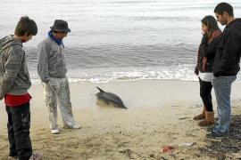 Papá Noel salva a un delfín en s'Arenal