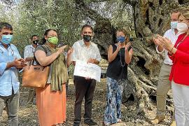 El olivo milenario de Can Det, en Fornalutx, premio al mejor ejemplar monumental de España