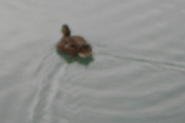 Patos en el Parc de la Mar