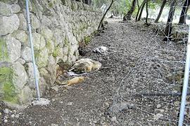 El alcalde Cifre retirará los animales muertos de la carretera vieja de Lluc