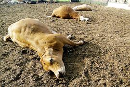 El veterinario condenado dio medicamentos de cerdo a los terneros muertos en Campos