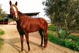 Roban en Son Oliva una yegua que acumula más de 143.000 euros en premios