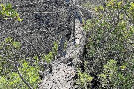 El autor de la tala ilegal de 98 pinos en 2018 en Cala Falcó aún no los ha retirado ni repuesto