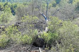 El Consell multa al operario que taló los 98 pinos en Cala Falcó ya que no dice quien se lo ordenó