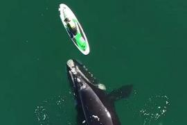 Un momento mágico: una ballena franca austral acompaña a una mujer mientras hace paddle surf