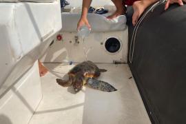 Rescatan en aguas de Ibiza una tortuga atrapada en plástico