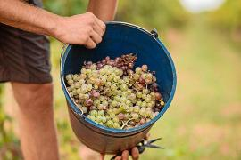 Crece la producción de vino con el sello DO Binissalem