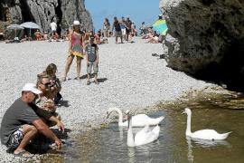Los cisnes aparecidos en el Torrent de Pareis son propiedad del Ajuntament d'Andratx