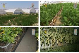 Descubierta en Murcia la mayor plantación de marihuana de España, con 5.000 m2 y 14.000 plantas