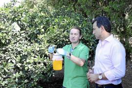El Govern prueba un nuevo tratamiento contra la plaga de la mosca de la fruta