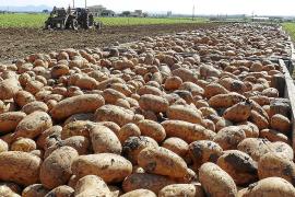 Un tercio de la patata temprana que exporta España se cultiva en la 'marjal' del municipio