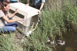 El Govern suelta en la Albufera siete nuevos ejemplares de cerceta pardilla