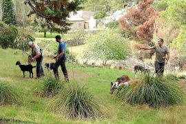 Empieza el control de cabras para regenerar el área de la Serra afectada por el incendio