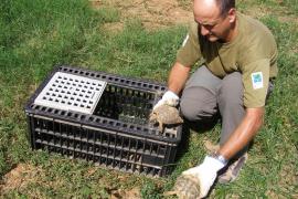 Sueltan 180 ejemplares de tortuga mediterránea en Artá para su conservación