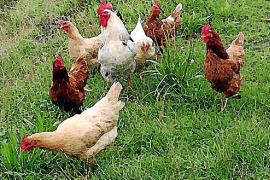 Tener o criar palomos y gallinas está prohibido en todo el casco urbano de Alcúdia