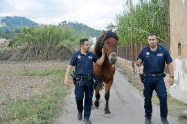La Policía Local persigue veinte minutos a 'Melós', el caballo del alcalde de Andratx