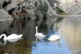 Los cisnes de Andratx abandonan sa Calobra