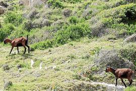 El pleno insta a parar la eliminación de las cabras del Parc de Llevant