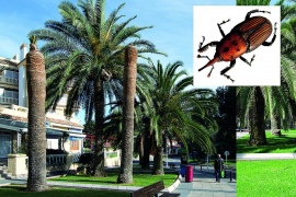 Las palmeras cortadas por el picudo rojo en Palma se reducen un 90 %