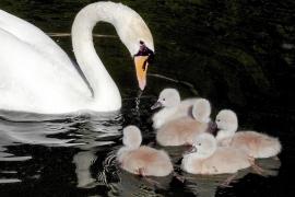 Tristeza y misterio rodean la muerte de cuatro crías de cisne en s'Hort del Rei