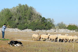 'Xusco' y 'Lluna' muestran su habilidad de perro pastor en Son Mesquida