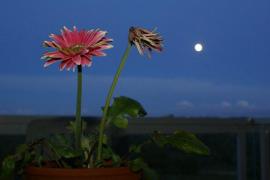 Flores y luna